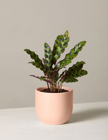 Calathea Rattlesnake plant from The Sill's Valentine's Day collection