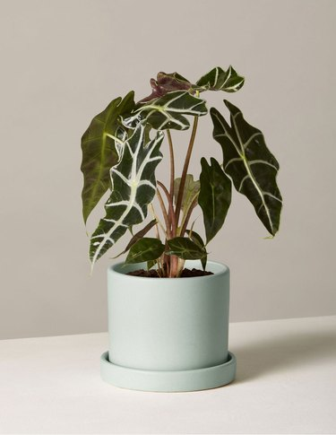 Alocasia Polly plant from The Sill's Valentine's Day collection