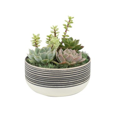 costa farms small succulent