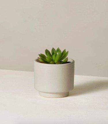 Echeveria Agavoides the plant