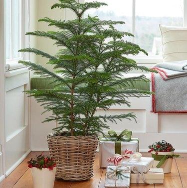 Norfolk Island Pine from White Flower Farm