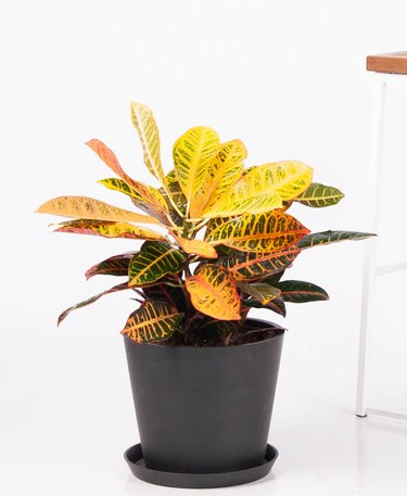 Croton plant from Bloomscape