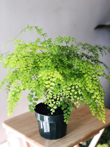 Maidenhair fern on table