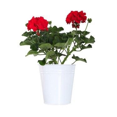Geraniums in white pot
