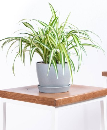 Spider Plant, Bloomscape