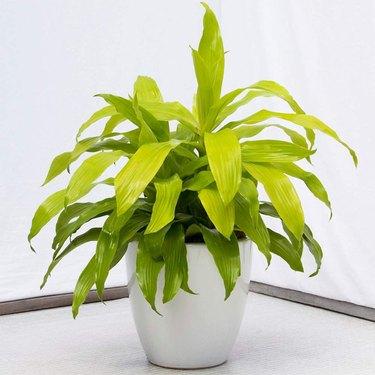 'Limelight' Dracaena plant