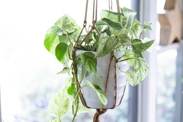 Hanging plant in white pot