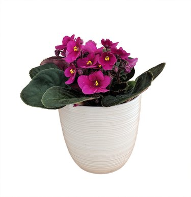 African Violet Plant in white planter from Walmart