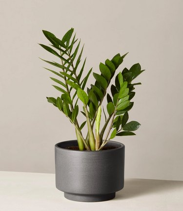 ZZ plant from The Sill in black planter