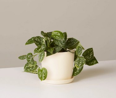 Philodendron plant from The Sill in cream colored planter