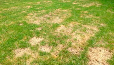 Lawn with brown spots.