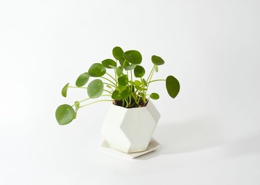 Pilea in white geometric vase