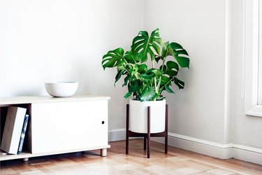 Monstera in white midcentury planter with wooden base