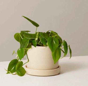 plant in beige planter