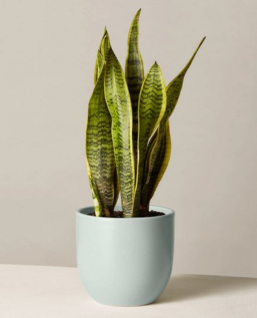 Snake plant from The Sill