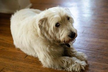White Westie dog