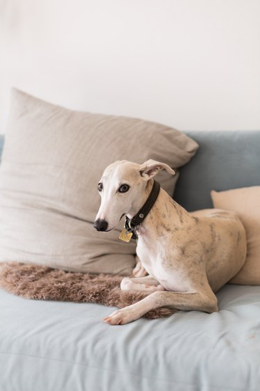 Greyhound dog resting on couch