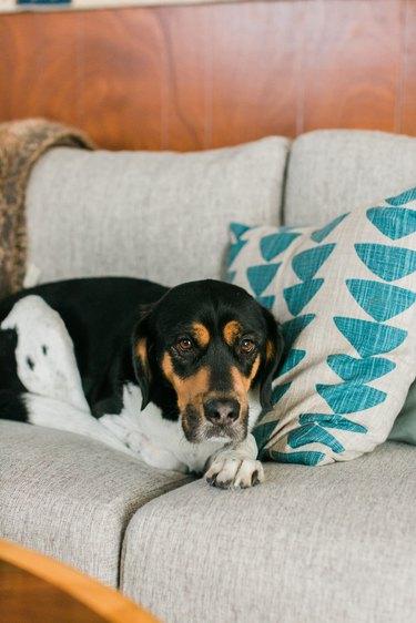 Hound dog on couch