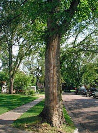 Treating a diseased elm tree.