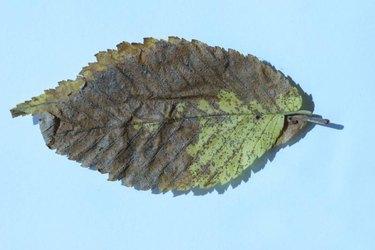 Advanced Anthracnose on elm leaf.