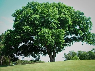 Elm tree in autumn.