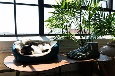 Cat sleeping in cat bed by window