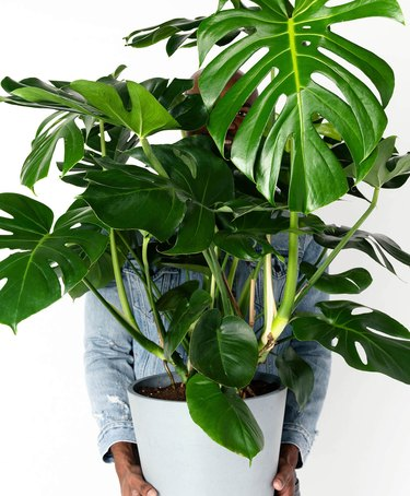 Giant monster plant in white planter