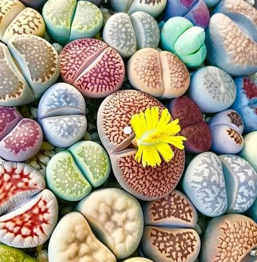 Blooming stone plants