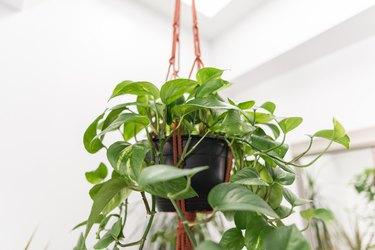 Hanging philodendron plant