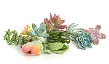 amazon assorted succulents