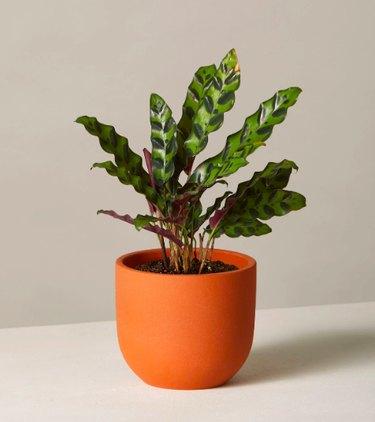 The Sill Calathea Rattlesnake plant in terracotta pot