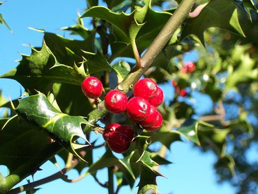 Holly plant with berries