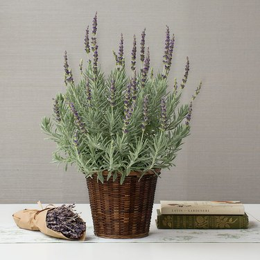 'Goodwin Creed Gray' lavender plant in wicker basket