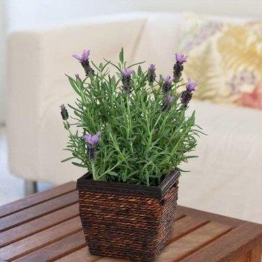 Lavender plant in brown basket planter
