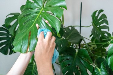 cleaning plant leaf