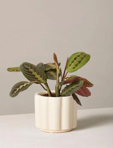 the sill maranta plant