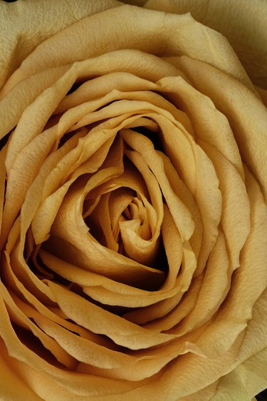 Mustard Yellow Rose Print