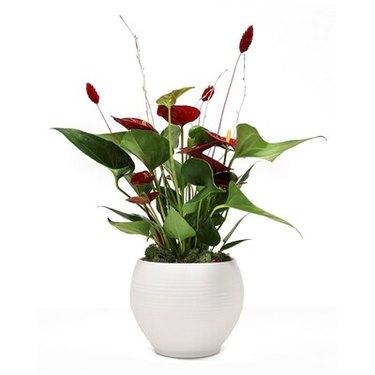 Anthurium Andraeanum Plant