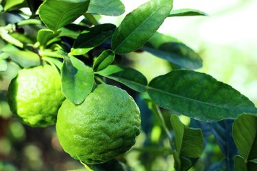 Kaffir lime fruit and leaves