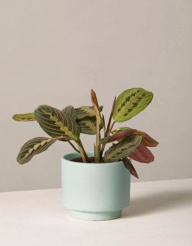 maranta plant in a green planter