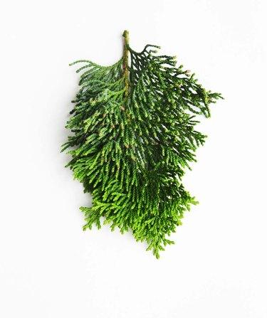 Compact Hinoki Cypress stem
