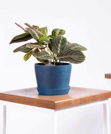 plant in indigo planters
