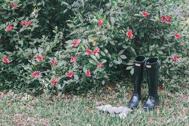 Azeleas plant