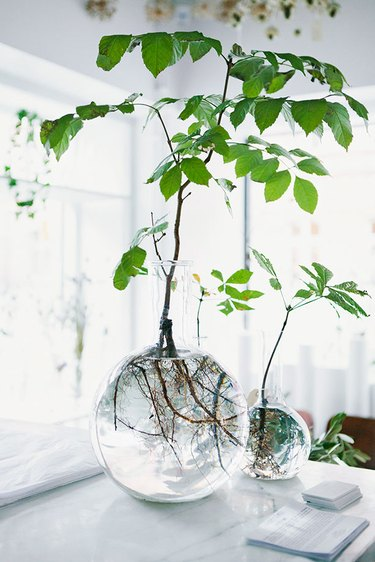 glass vase with rooted plant