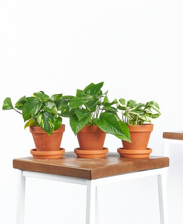 three pothos plants