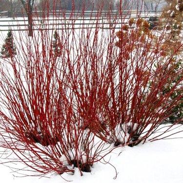 Red twig dogwood.