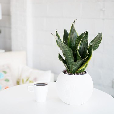 mother-in-law's tongue (Sansevieria trifasciata), snake plant