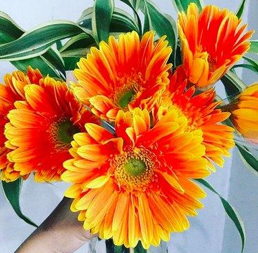 gerbera daisy (Gerbera jamesonii)