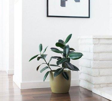 Rubber plants (Ficus elastica)