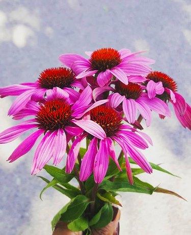 Echinacea plants (Echinacea angustifolia)